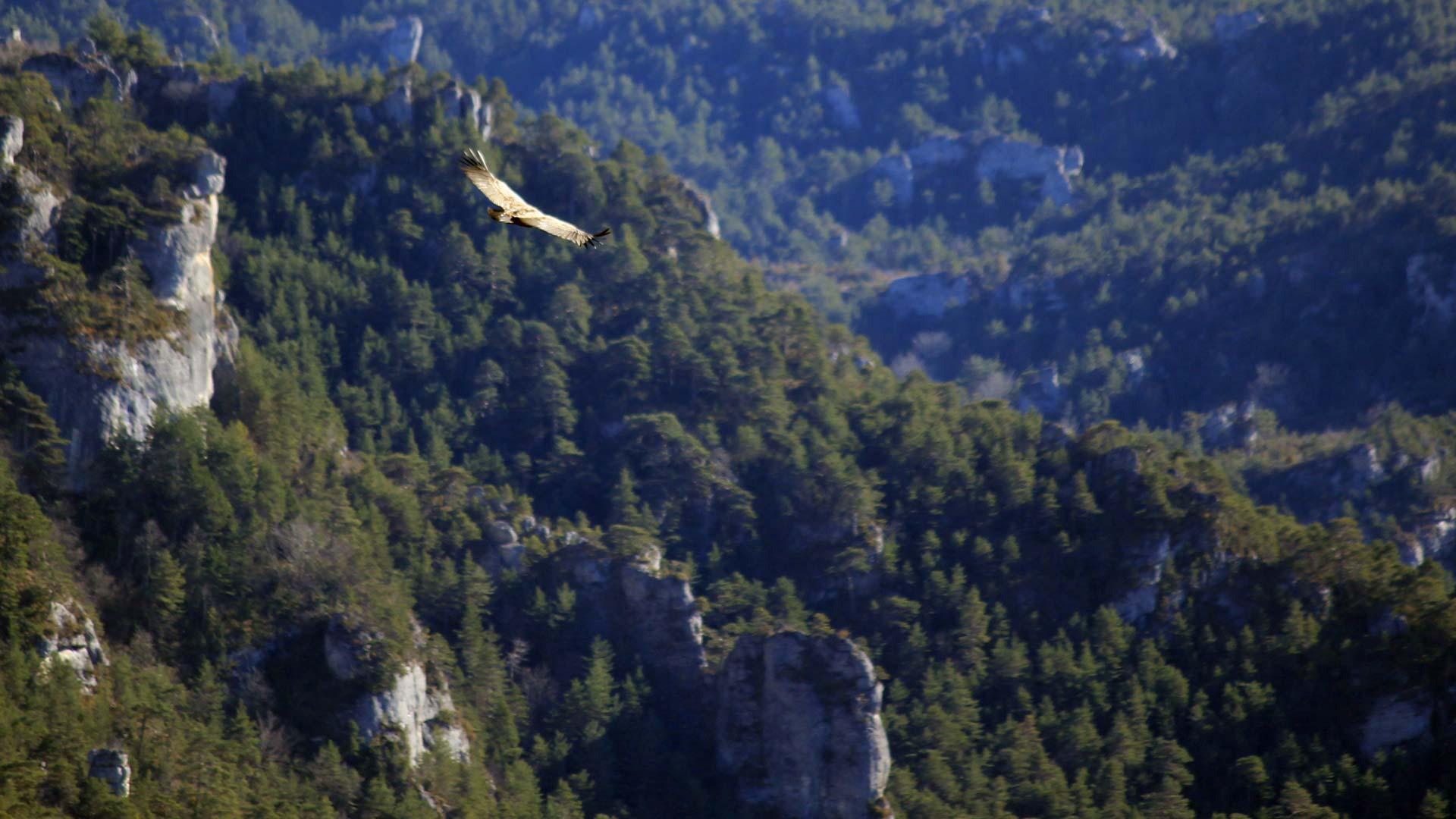 Vautour Gorges du Tarn Lozère